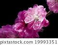 桃花 花朵 花卉 19993351