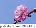 桃花 背景 花蕾 19994012