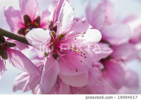 嬌豔的桃花 19994017
