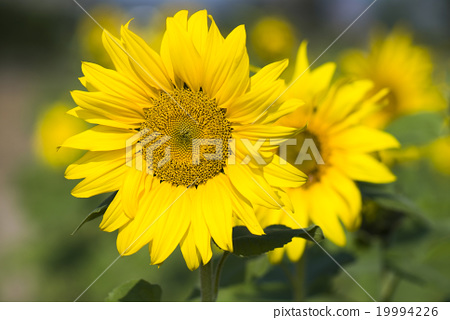 Sunflower, sunflower 19994226