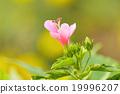 Hibiscus 19996207