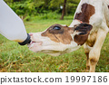 feeding milk to baby cow at the ranch 19997186