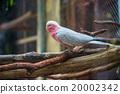 galah, cockatoo, beautiful 20002342