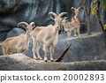 male Barbary sheep (Ammotragus lervia) 20002893