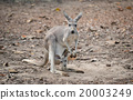 gay kangaroo with joey 20003249