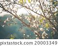 White Peach flower Blossom 20003349