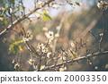 White Peach flower Blossom 20003350