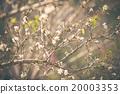 White Peach flower Blossom 20003353