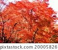 ความงามของใบไม้ในฤดูใบไม้ร่วงของคาเอเดะซึ่งเป็นสีของปลายฤดูใบไม้ร่วงเป็นพิเศษและทำให้ใจของคนเมา 20005826