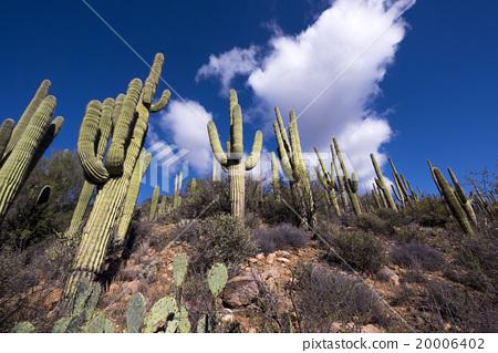Saguaro Cactus 20006402