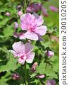 ดอกฮอลลี่ฮ็อค,สีชมพู,ดอกไม้ 20010205
