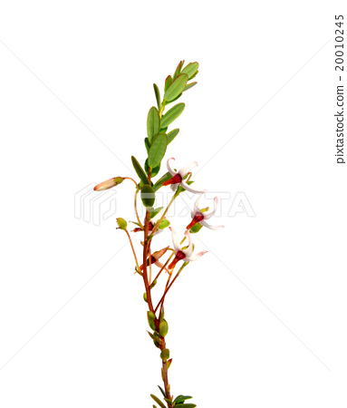 Cranberry flowers (Vaccinium macrocarpon) 20010245