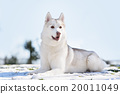 siberian husky dog in outdoore 20011049