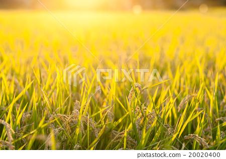 水稻種植和水稻種植 20020400