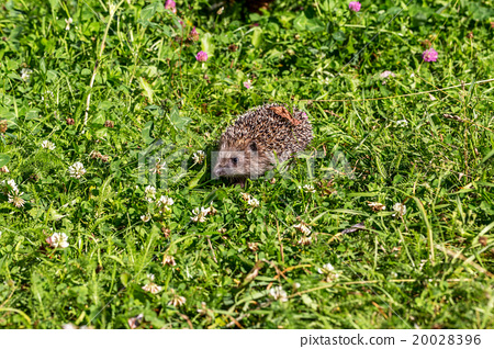 Young hedgehog on green grass in natural habitat 20028396