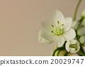 百合科 蔥 開花 20029747