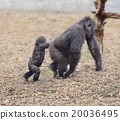 Gorilla Female with Her Baby 20036495
