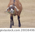 Brown Domestic Goat 20036496