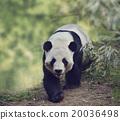 Giant Panda Bear 20036498