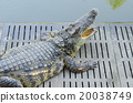 Crocodile in Thailand Farm 20038749