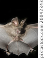 Bat in hand of researcher, Of research studies in the field. 20042343