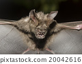 Bat in hand of researcher, Of research studies in the field. 20042616