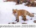 겨울 북극 여우 20050803