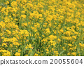 rape, rape blossoms, field of rapeseed 20055604