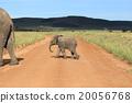 elephant, african, loxodonta 20056768