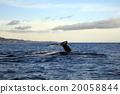 whale, mammalian, tail 20058844