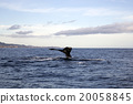 whale, mammalian, tail 20058845
