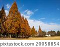 tree, wood, metasequoia 20058854