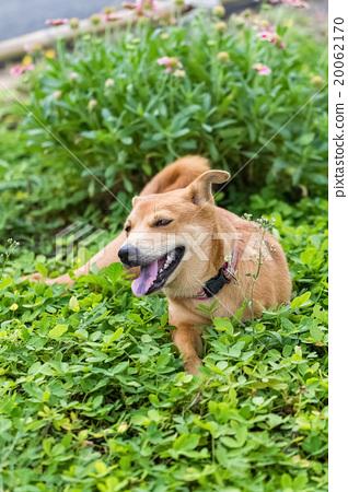 happy thai brown three legs dog 20062170