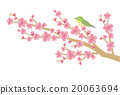 Cherry blossom & white-eye with white background 20063694