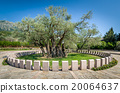 Old olive tree Stara Maslina wich is more than 20064637