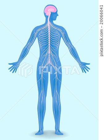 人的神经系统图传染媒介例证 20066041