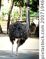 Portrait of ostrich 20071946