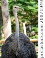 Portrait of ostrich 20071949