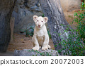 Cute baby white lion on the rock 20072003