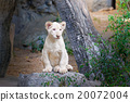 Cute baby white lion on the rock 20072004