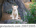 Cute baby white lion on the rock 20072005