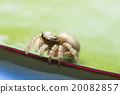 Jumping spider on a lotus leaf (space for text). 20082857