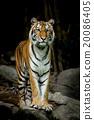 Bengal Tiger 20086405