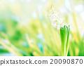 Hyacinth flower in green grass 20090870