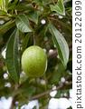 pomelo fruit 20122099