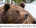 Brown bear portrait on the snow 20128176