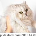 波斯 波斯貓 南美栗鼠 20131439