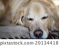 golden retriever, golden, retriever 20134418