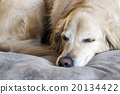golden retriever, dog, dogs 20134422