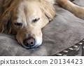 golden retriever, napping, nap 20134423